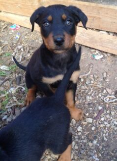 Rottweiler pups *EASTER SPECIAL* $500 Geelong Region Preview