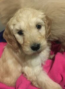 Stunning GOLDENDOODLE Puppies!