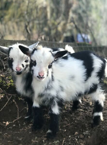 BABY GOATS!!