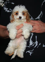 Teddy Bear  red and white parti petite mini doodle puppies!