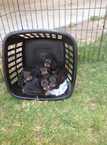 Miniature Long Haired Dachshund Puppies