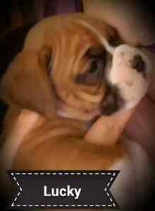Chiots boxer lignee europeenne a reserver