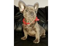 Beautiful Solid Blue French Bulldog puppy 20 weeks old BOY