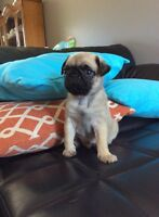 WANTED PUREBRED FEMALE PUG PUPPY