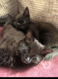 3 black and fluffy kittens for sale 200 £ each