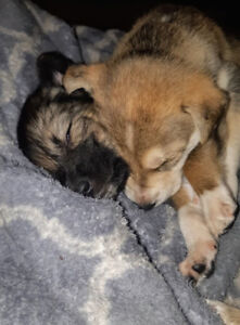 Beautiful Loving Puppies For Sale!