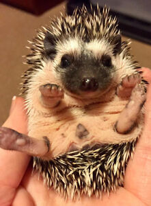 Baby Hedgehogs - Registered/Pedigreed Hedgehog Breeder