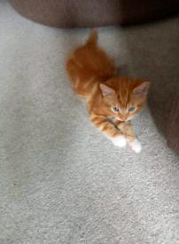 Ginger Kiten