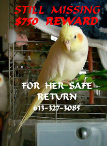 Find or buy a lutino/yellow cockatiel with a bald patch??