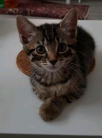 10 week old kitten for sale
