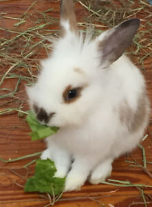 Free lionhead rabbit to good home