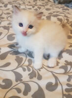 Gorgeous TICA registered ragdoll kittens  available