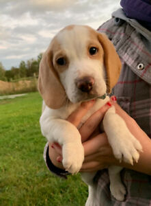 Beagle Adopt Dogs Puppies Locally In Ontario Kijiji