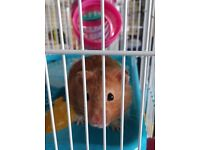 Hamster 7 months old for free with all new equipment