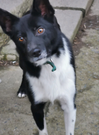 3 year old ISDS registered male collie