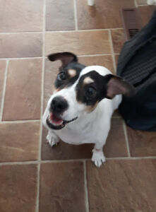 chienne Jack Russell
