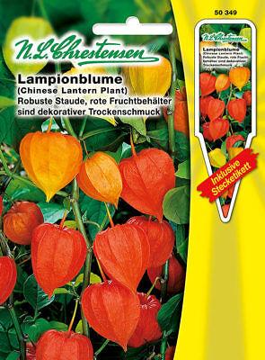 'Physalis alkekengi' robuste Staude Trockenschmuck 50349 (Orange Lampions)
