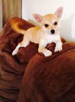 (ON HOLD)Gentle female chihuahua mix.