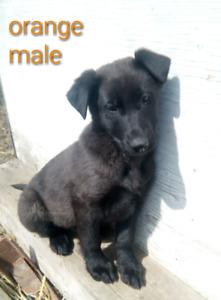 Black lab cross puppies