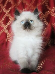 Dollfaced Persian Himalayan Seal Point FEMALE Kittens
