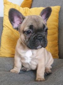 Female French Bulldog pup