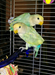 10 week old lovebirds