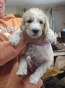 Gorgeous Sweet Goldendoodles for sale now