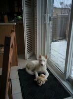 4 months old white husky puppy for sale