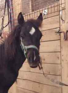Flashy black  reg welsh x 7 month old colt  London Ontario image 2