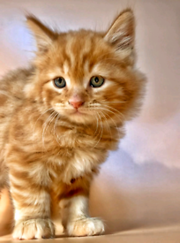 Stunning British Short hair x maine coon kittens