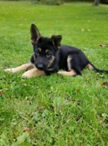2 MALE PURE BRED GERMAN SHEPHERD PUPPIES