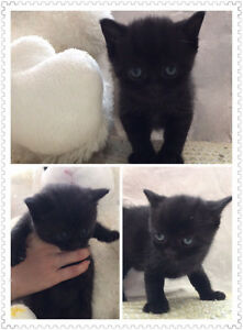 Lovely British Short Hair Kitten Ready To Go A New Home