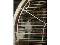 gray Indian Ringneck Parrotand cage for sale £160