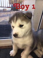 SIBERIAN HUSKY PUPPIES ONLY 1 BOY LEFT!!