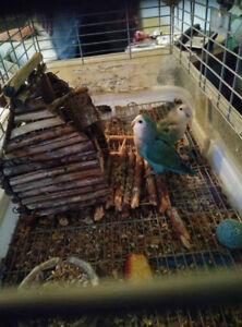 2 Lovebirds (with cage) for rehoming