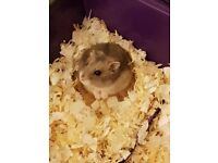 Ready for Adoption - Spike Russian Dwarf Hamster