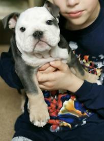 Beautiful male English Bulldog puppy