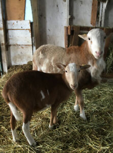 Katahdin Ram and ewe