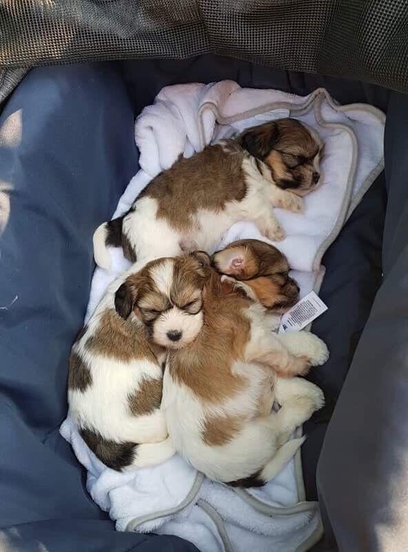 Coton De Tulear X Shih Tzu Puppy In Stamford Lincolnshire Gumtree
