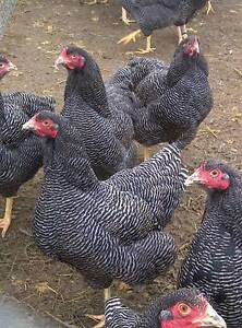 Plymouth Rock Dark Barred Hens Laying Now 10 Months Old Tullamarine Hume Area Preview