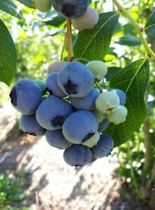 BlueCrop Blueberries for Sale