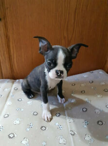 Boston Terrier Puppies looking for their forever homes