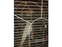 grey Indian Ringneck Parrot and cage for sale