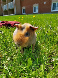 Skinny pig looking for a new home!