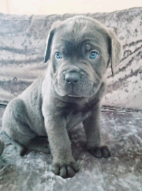 Cane Corso Puppies Ready in 2 weeks