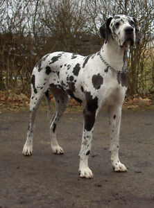 Looking for: Harlequin Great Dane puppy