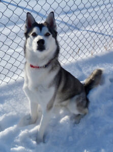 Female Husky for adoption - Meeka -still available
