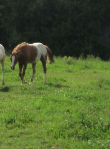 Appaloosa Yearling Colt:  Excellent temperament and conformation