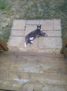 Petite chatte perdue le 14 juillet a Saint-Gilles de Lotbiniere