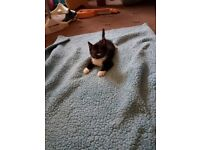 4 adorable mixed breed kittens.